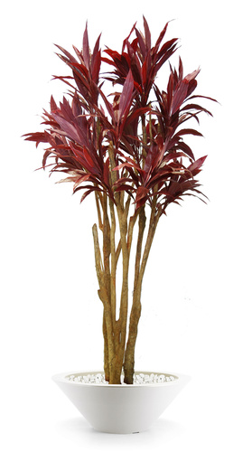 Cordyline Florida 260 cm Red