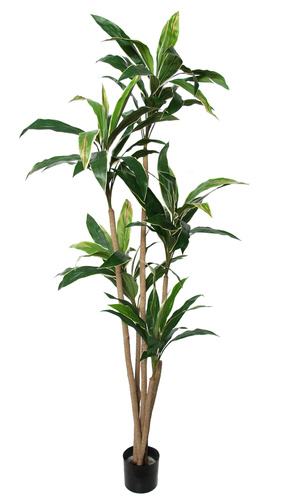 Cordyline Plant w pot 200 cm Green