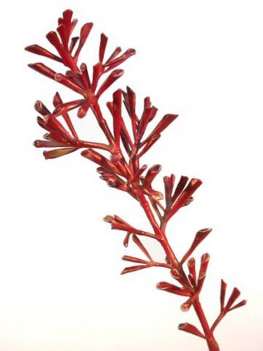 Crassula_Skyline_150_cm_Burgundy_4405BUR