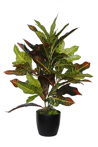 Croton Bush Medium 70 cm Multicolor