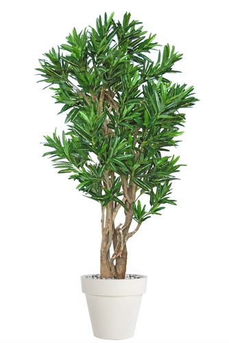 Croton California Malabar 180 cm Grn Yell