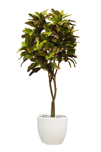 Croton Tree 180 cm Multicolor