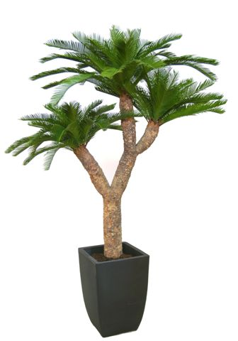 Cycas_Baby_Dragon_h 180_cm_Green