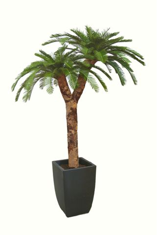 Cycas_Baby_Dragon_220_cm_Green