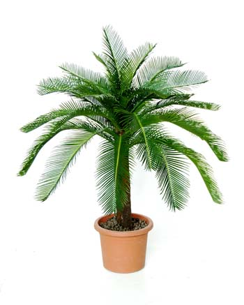 Cycas_Baby_Plant_100_cm_Green