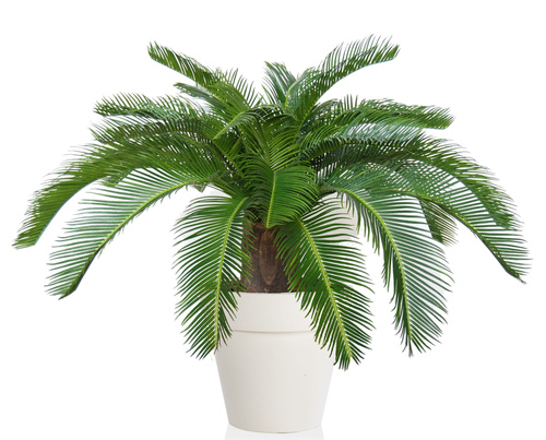 Cycas Country h 70 cm Green