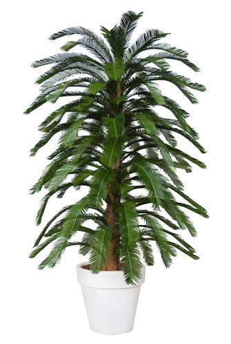 Cycas Florida 230 cm Green
