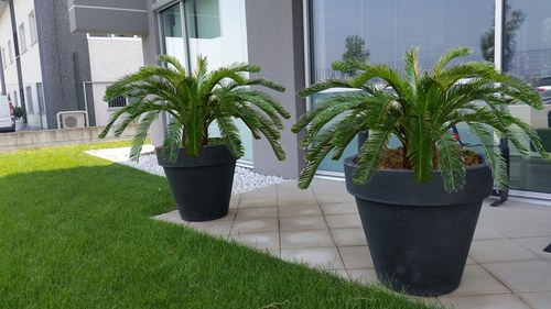 Cycas Palm with pot anthracite diam.60