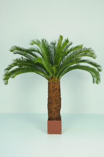 Cycas Palm w pot 160 cm