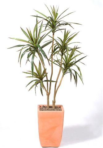 Dracaena_Marginata_170_cm_Green_Red__V_SUM-15-128