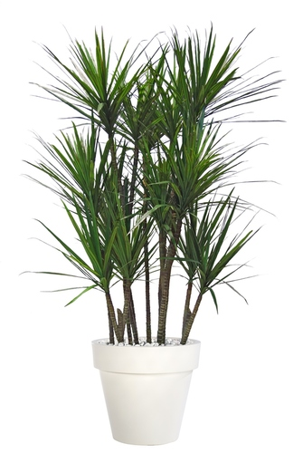 Dracaena Marginata Boschetto 190 cm Green Red
