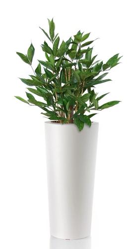 Dracaena Surculosa  110 cm Green