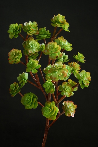 Echeveria Bush 90 cm Multicolor