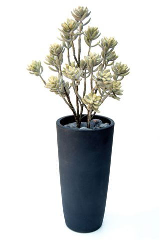 Echeveria_Pulvinata_Plant_150_cm_Flocked__V_4395A03