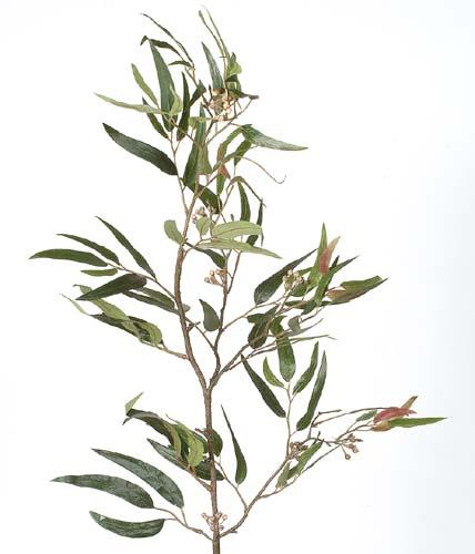 Eucalyptus_With_Berries_Green_1247153