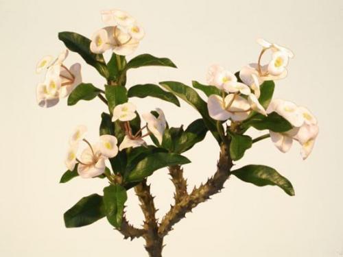 Euphorbia_Milii_40_cm_White_4467WHT