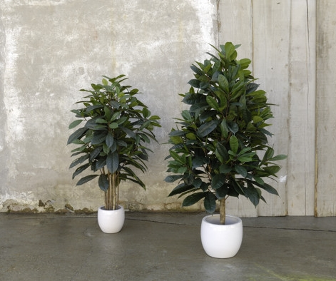 FICUS_CYATHISTIPULA artificial plant
