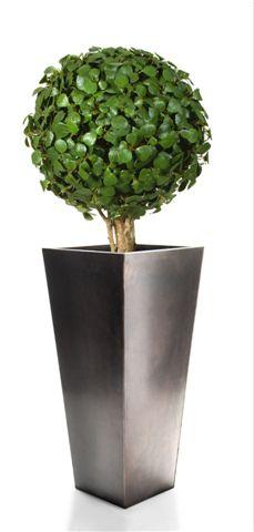 Ficus_Deltoidea_Topiary_d_50_H_160_CM_Green_V_4000B05