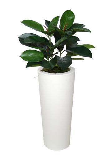 Ficus Elastica Bush 110 cm Green