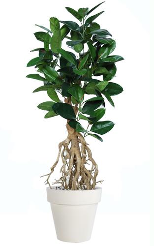Ficus Elastica Root