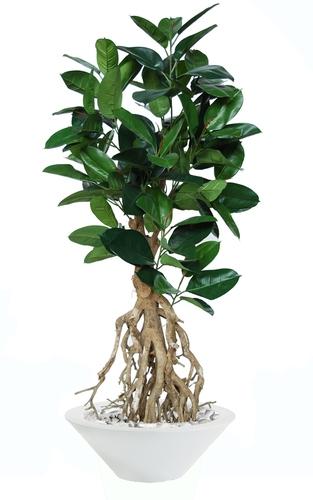 Ficus Elastica Root 180 cm Green