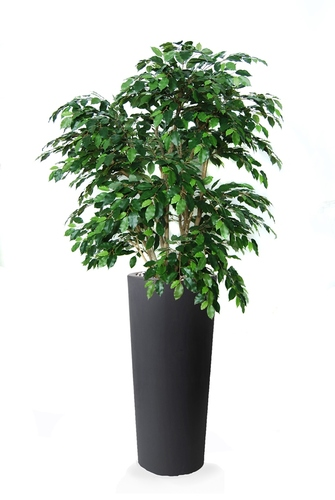 Ficus Exotica Lux 210 cm Green