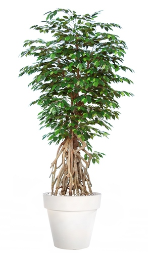 Ficus Exotica Root  260 cm Green