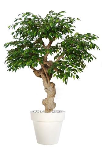 Ficus Golden Crown Lt Green