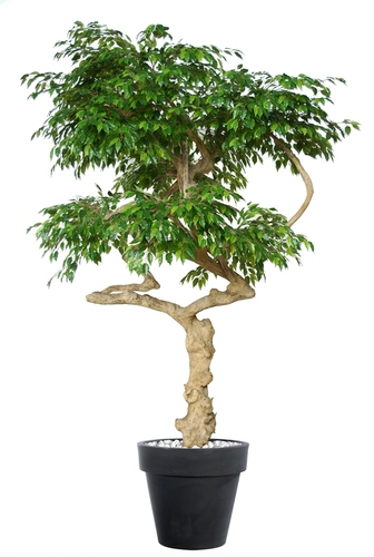 Ficus Golden NidrabLt Green