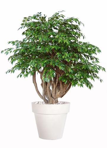 Ficus Golden Robusta Lt Green