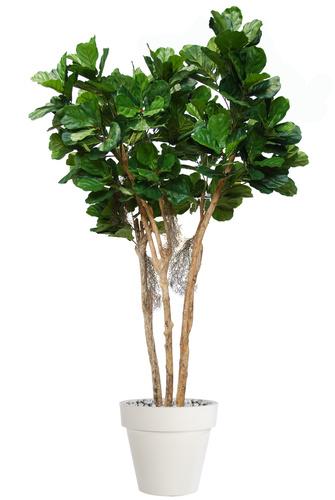 Ficus Lyrata Florida  240 cm Green