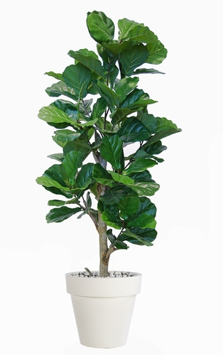 Ficus Lyrata Step Tree 160 cm Green