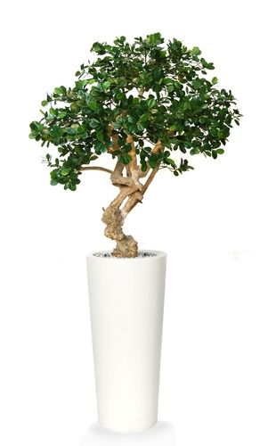 Ficus Panda Crown