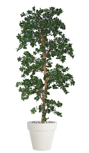 Ficus Panda Multistep 220 cm