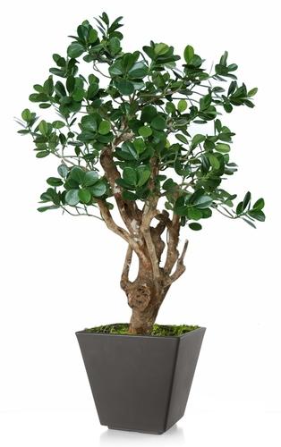 Ficus Panda Robustina
