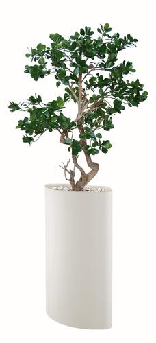 Ficus Panda Stylish 130 cm