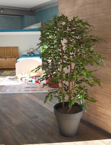 Ficus Retusa Natural Style