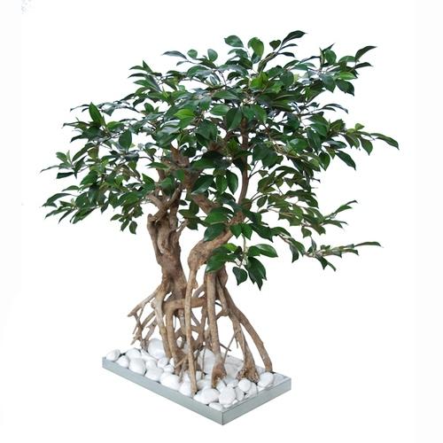 Ficus Retusa Root Bonsai