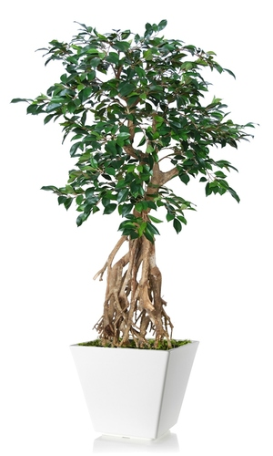 Ficus Retusa Root Mini