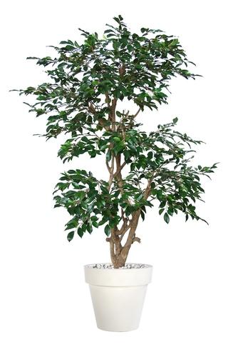 Ficus Retusa Stylish 170 cm