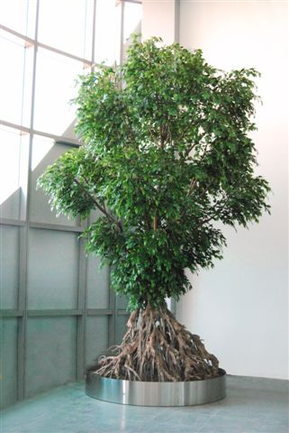 Ficus_Silver_Root_500_cm_Green