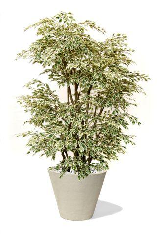 Ficus_Starlight_Boschetto_250_cm_Varieg_V1009A20