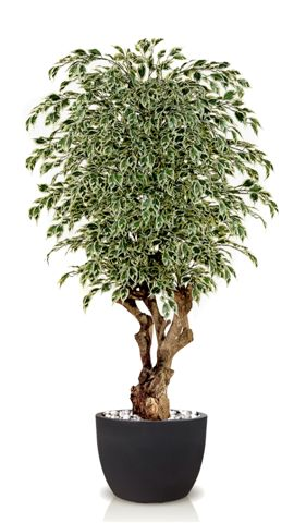 Ficus_Stirlight_Variegated_Malabar_180_cm_V1009A09