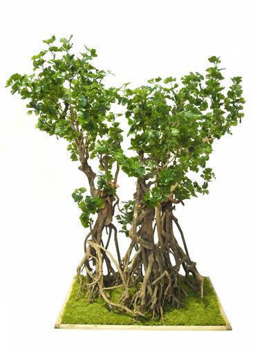 Gynkgo Biloba Imperiale 180 cm Green