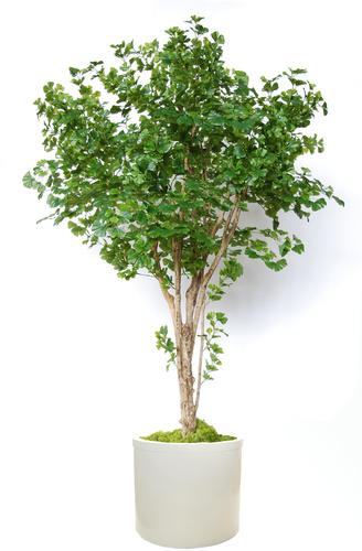 Gynkgo Florida 260 cm Green