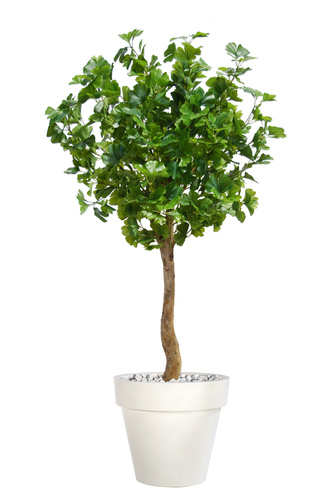 Gynkgo Topiary 150 cm Green