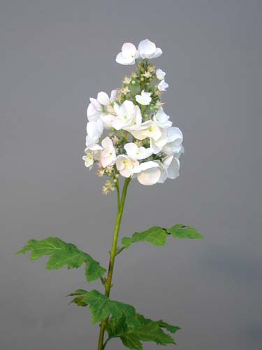 Hydrangea_Kyushu_90_cm_Cream_4058CRM