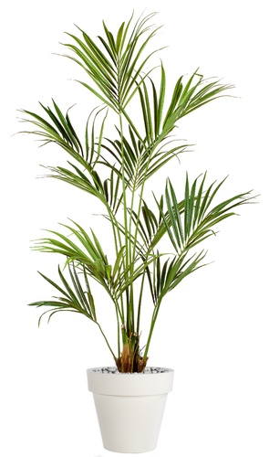 Kentia Palm 180 cm Green