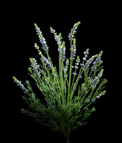 Lavender bush x 8 pcs.  65 cm
