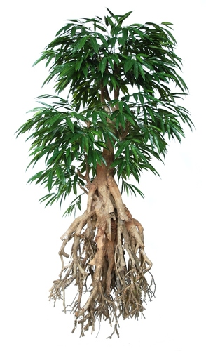 Longifolia Root Giant 250 cm Green